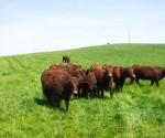 livestock02